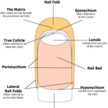 Health Nail Anatomy