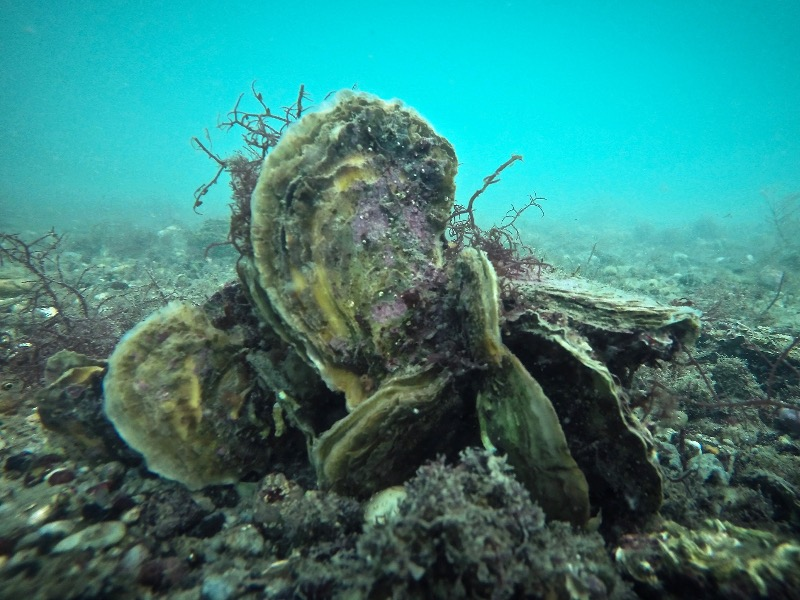 Oysters are full of important proteins, vitamins and minerals.